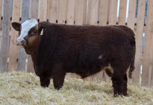 Paternal Brother APLX Jackson 3Y   - sold to Westgold Farms