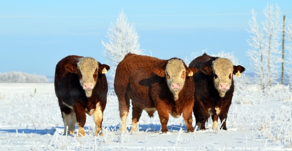 Our three, 2013 herd bull prospects - from left -  Ajax, Edge and Axel.