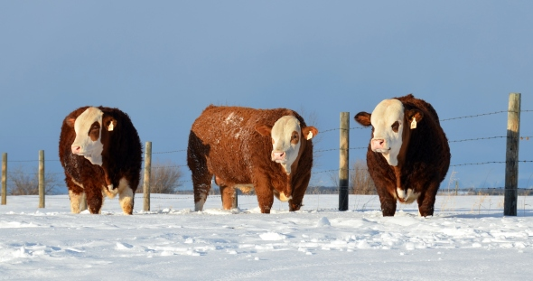Our 2013 Red Deer Simmental Bull Sale Entries - From Left: Ajax, Edge and Axel