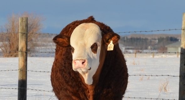 APLX Axel 5Z - High Selling bull at the 2013 Red Deer Simmental Bull Sale