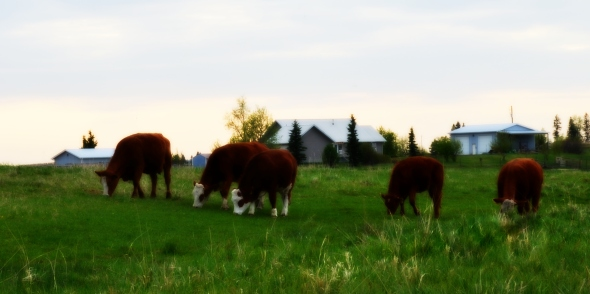 young cows on grass