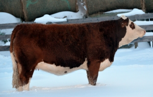 Applecross Mariah - 3/4 sister to Elway.  Selected by Berwest Farms in the 2013 Fleckvieh Equation Sale.