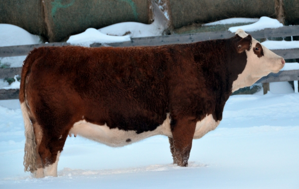 Maternal Sister: Applecross Mariah Selected by Berwest Farms in the 2013 Fleckvieh Equation Sale.