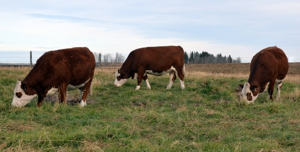Our Three Sale Heifers - From Left: Mariah, Iris and Cassie