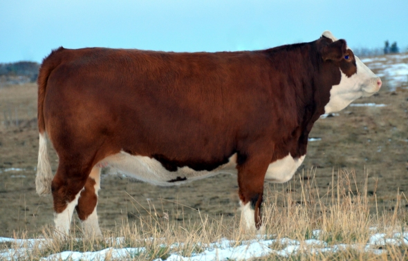Applecross Iris - Our High Seller is headed to James Creek Simmentals in North Dakota