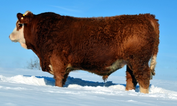 Maternal Brother: APLX Elway 5A. Selected by Connie Crouch, Sundre in our 2014 Sale