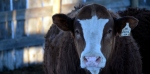 Javar - one of our Feature Bulls