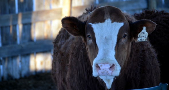 Javar - one of our three bulls on offer in Red Deer