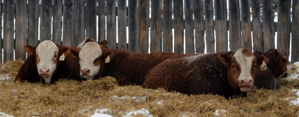 Relaxing on the Straw Pack - our Bulls will be ready to strut their stuff on March 23rd.
