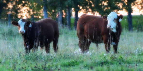 A picture from last September of our two feature bulls - left: APLX Clancy and right:  APLX Encore