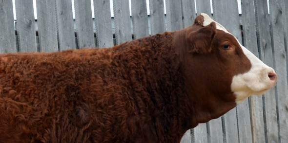 Applecross Candice - Our High-Selling Female, selected by Sunville Simmentals, McCreary MB.